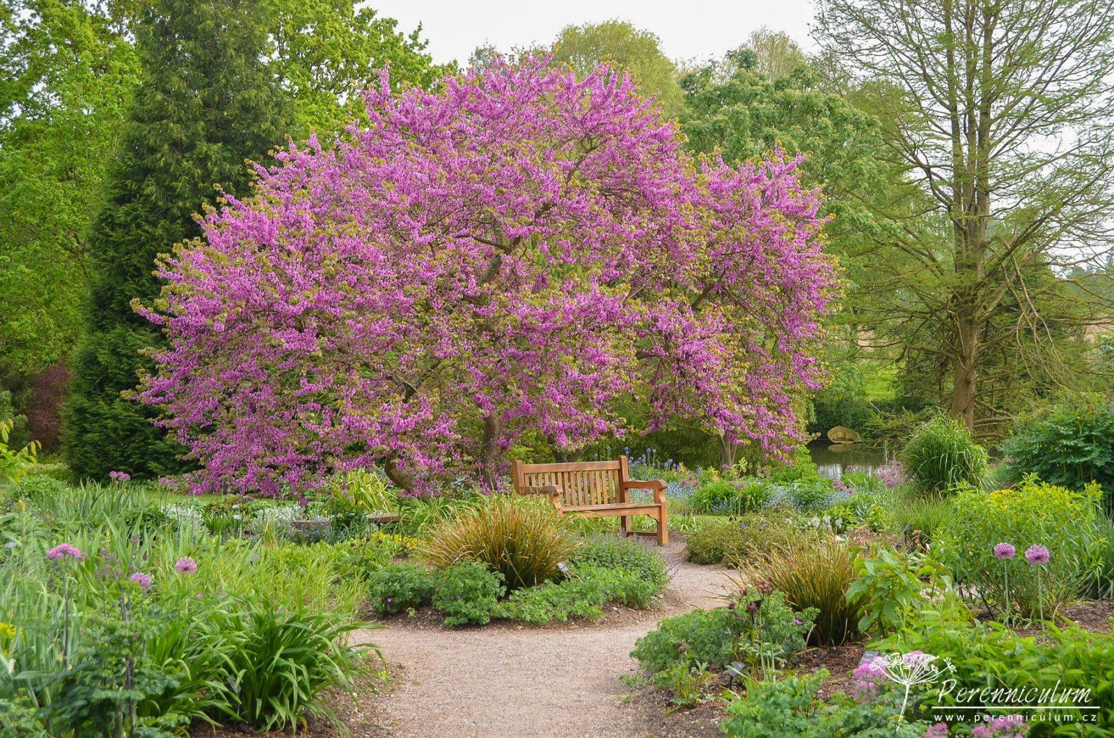 Část zahrady s klasickými trvalkovými záhony (rabaty) se teprve probouzela k životu. Velkou parádu však dělala krásná košatá zmarlika Jidášova (<em>Cercis siliquastrum</em>).