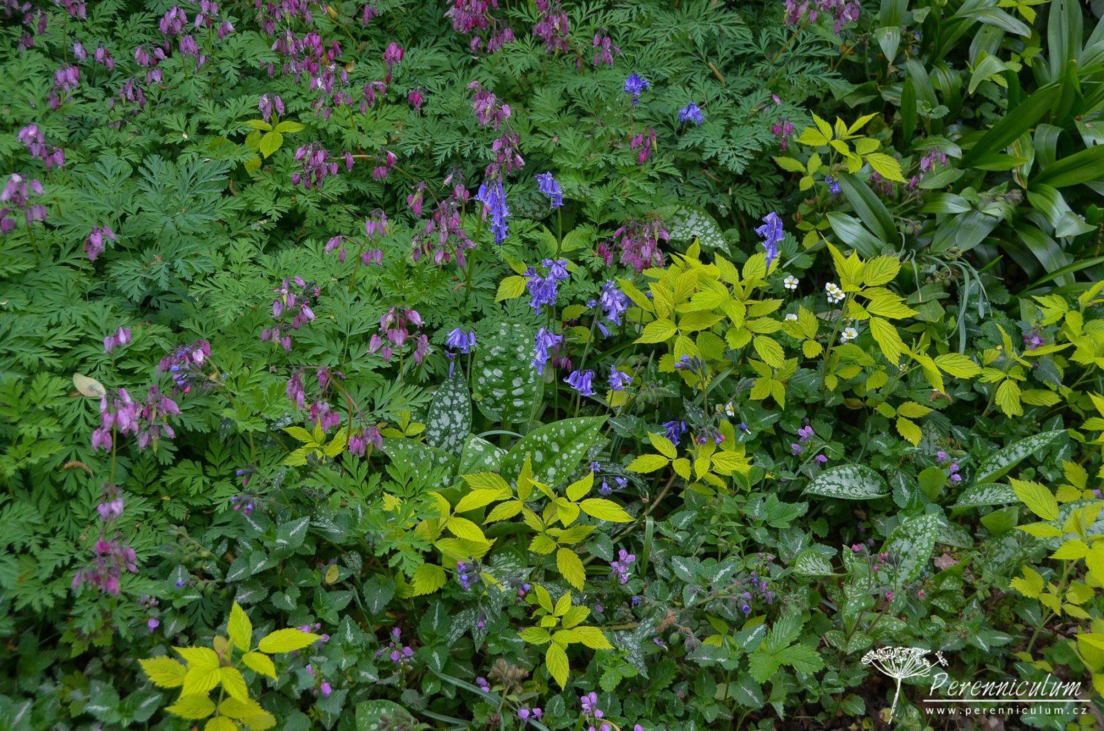 Detail bylinného patra v podrostu stromů: růžově kvetoucí srdcovka (Dicentra formosa), modré hyacintovce (Hyacinthoides non-scripta), panašované listy plicníku (Pulmonaria) a hluchavky (Lamium maculatum) s květy lesních jahor (Fragaria vesca).