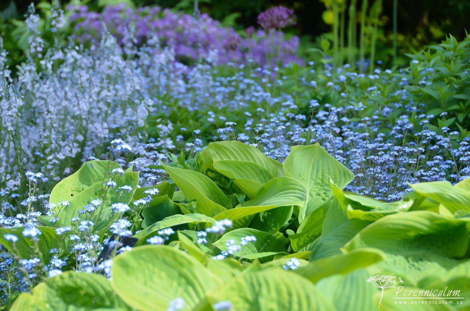 Chladivá modrá všudypřítomných pomněnek (Myosotis) a rozrazilu (Veronica gentianoides). Drobné kvítky doplňují velké listy bohyšky (Hosta).
