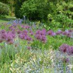 Allium Purple Rain