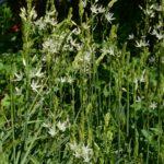 Camassia leichtlinii subsp. leichtlinii