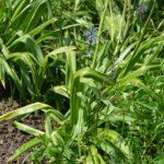 Camassia leichtlinii subsp. suksdorfii