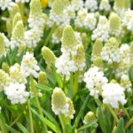 Muscari aucheri White Magic
