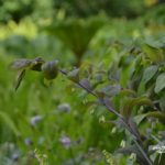 Polygonatum hybridum Betberg