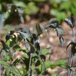Polygonatum x hybridum Betberg