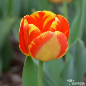 Tulipa Banja Luka