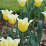 Tulipa Budlight