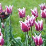 Tulipa Claudia
