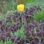 Tulipa Golden Oxford