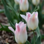 Tulipa Holland Chic