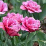 Tulipa Matchpoint