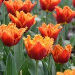 Tulipa Noranra