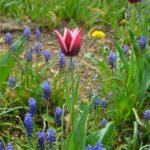 Tulipa Rajka