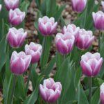 Tulipa Salvation Army