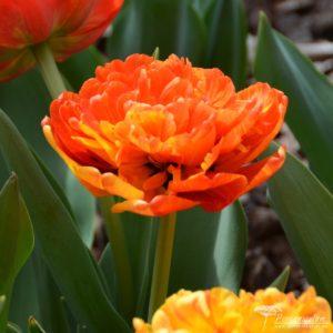 Tulipa Sunlover
