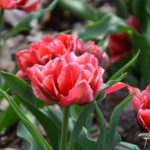 Tulipa Willemsoord