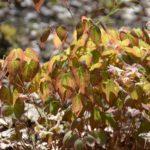 Epimedium x versicolor Cupreum