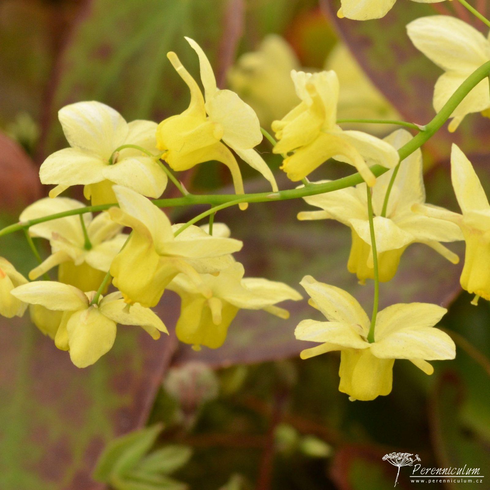 Epimedium × versicolor