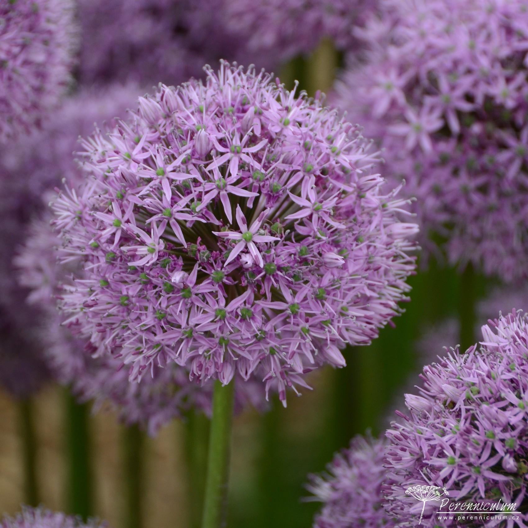 Allium