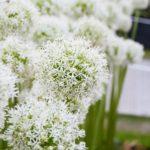 Allium White Giant
