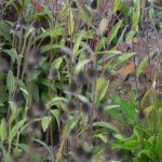 Rudbeckia hirta listy