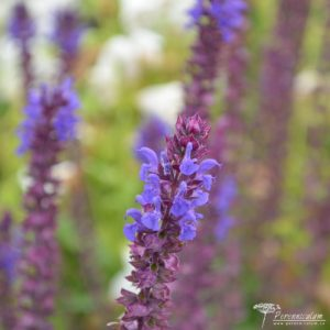 Salvia nemorosa Adora Blue