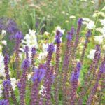 Salvia nemorosa Adora Blue