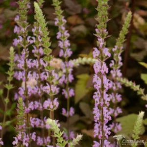 Salvia nemorosa Amethyst