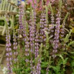 Salvia nemorosa Amethyst