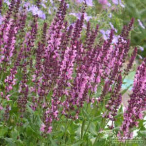 Salvia nemorosa Sensation Rose