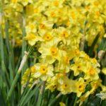 Narcissus Golden Dawn