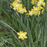 Narcissus Pipit