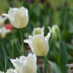 Tulipa Daytona